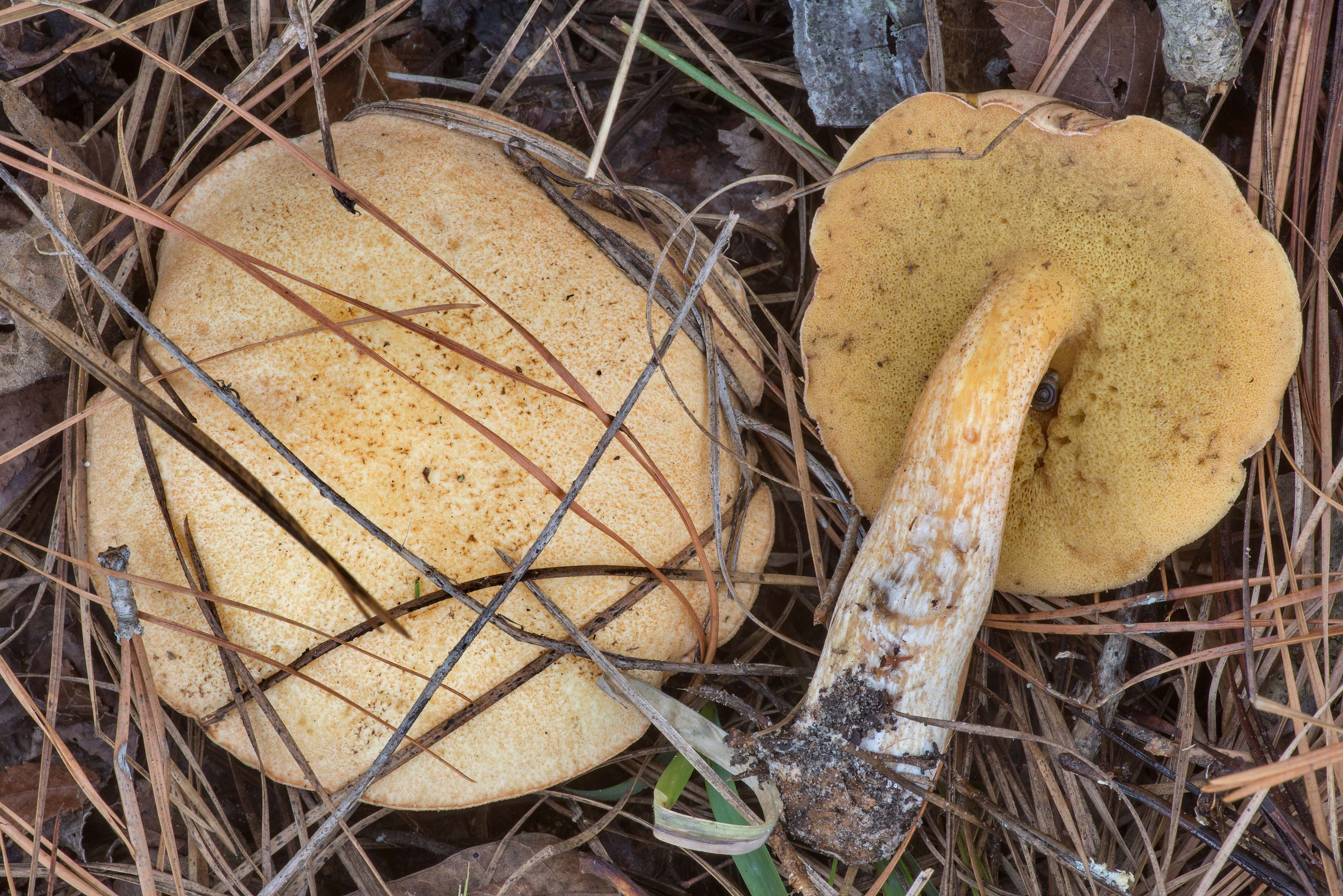 Bolete mushrooms Suillus hirtellus in a pine...in Sam Houston National Forest. Texas