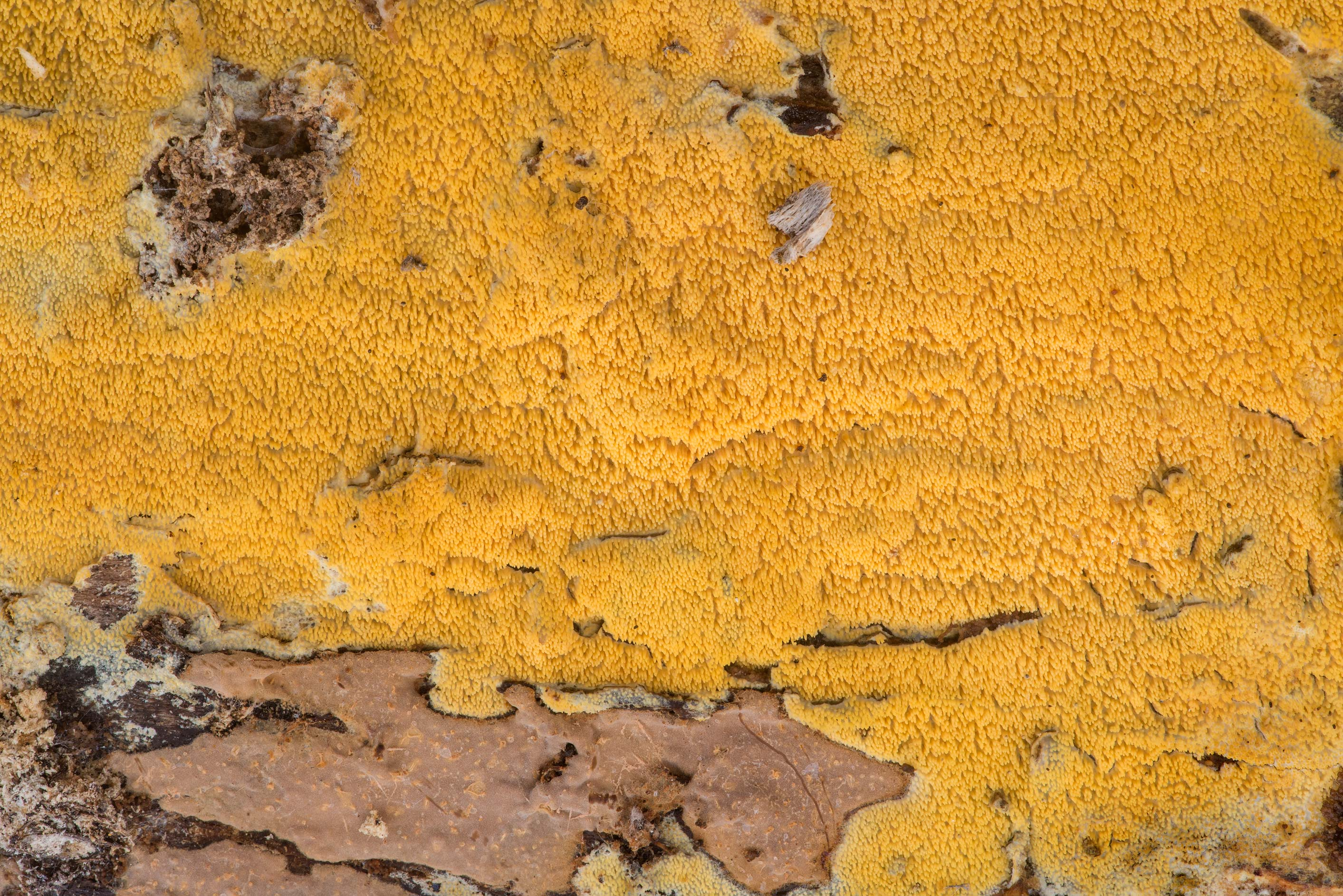 Yellow hydnoid fungus on underside of a pine or...Forest north from Montgomery. Texas