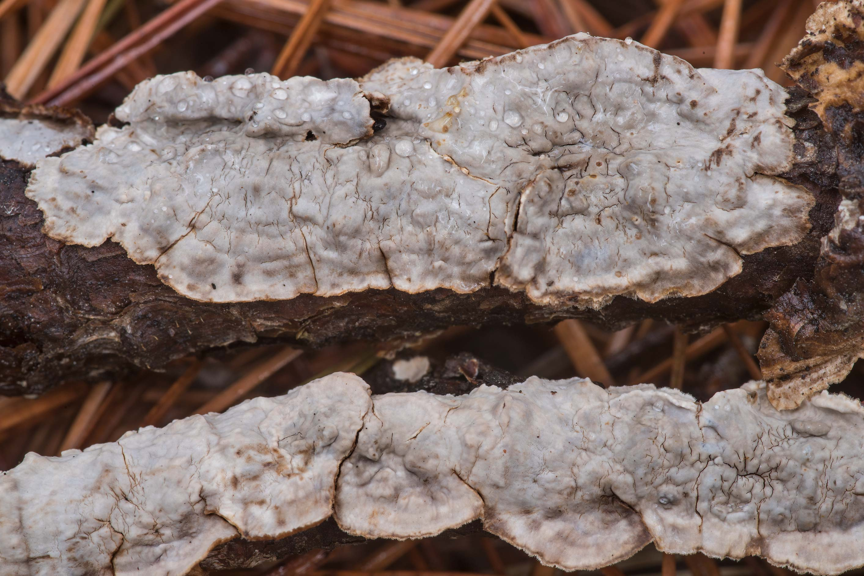 Some corticioid (crust) Stereum like fungus on...National Forest near Huntsville. Texas