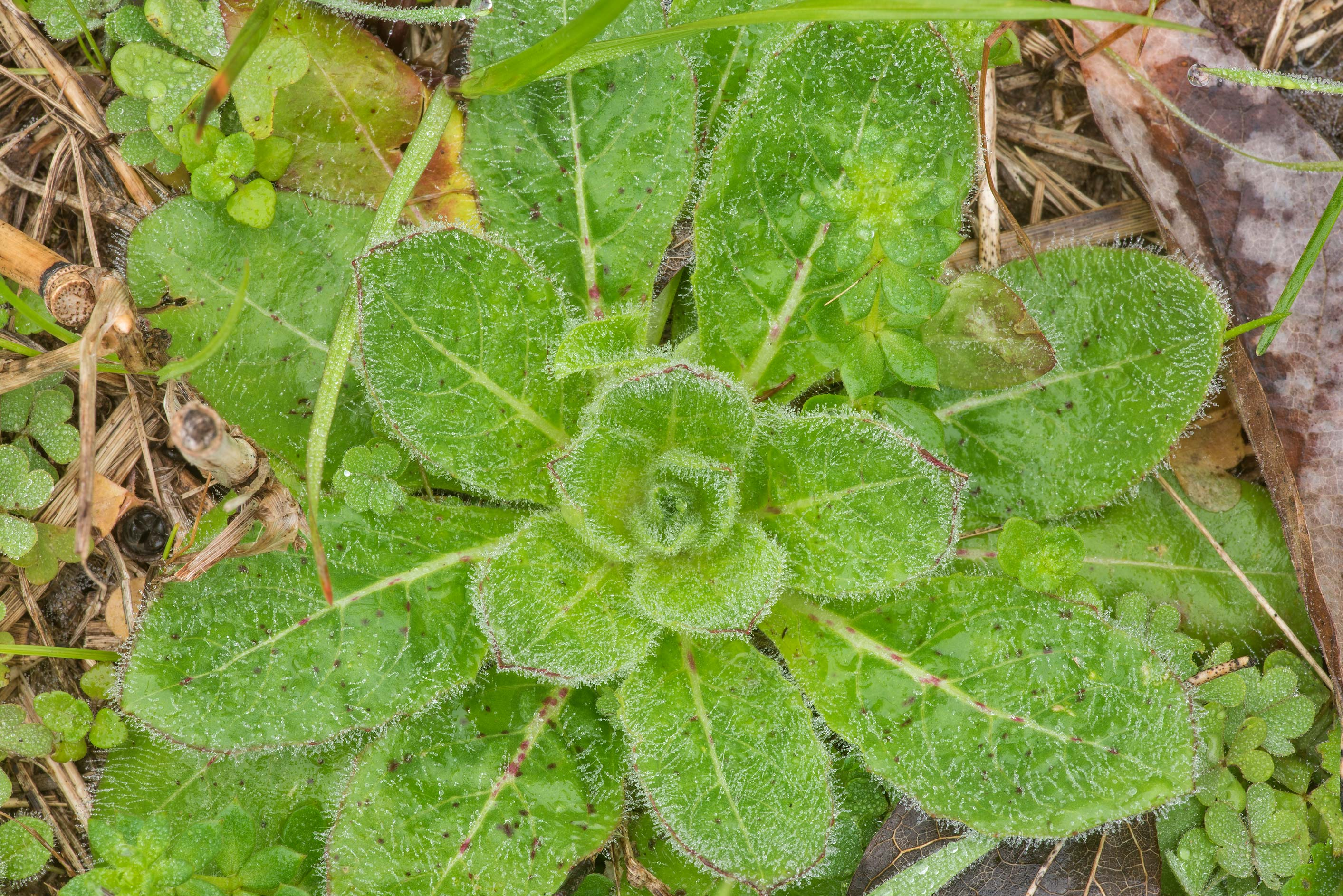 Green hairy winter rosette of leaves in...State Historic Site. Washington, Texas