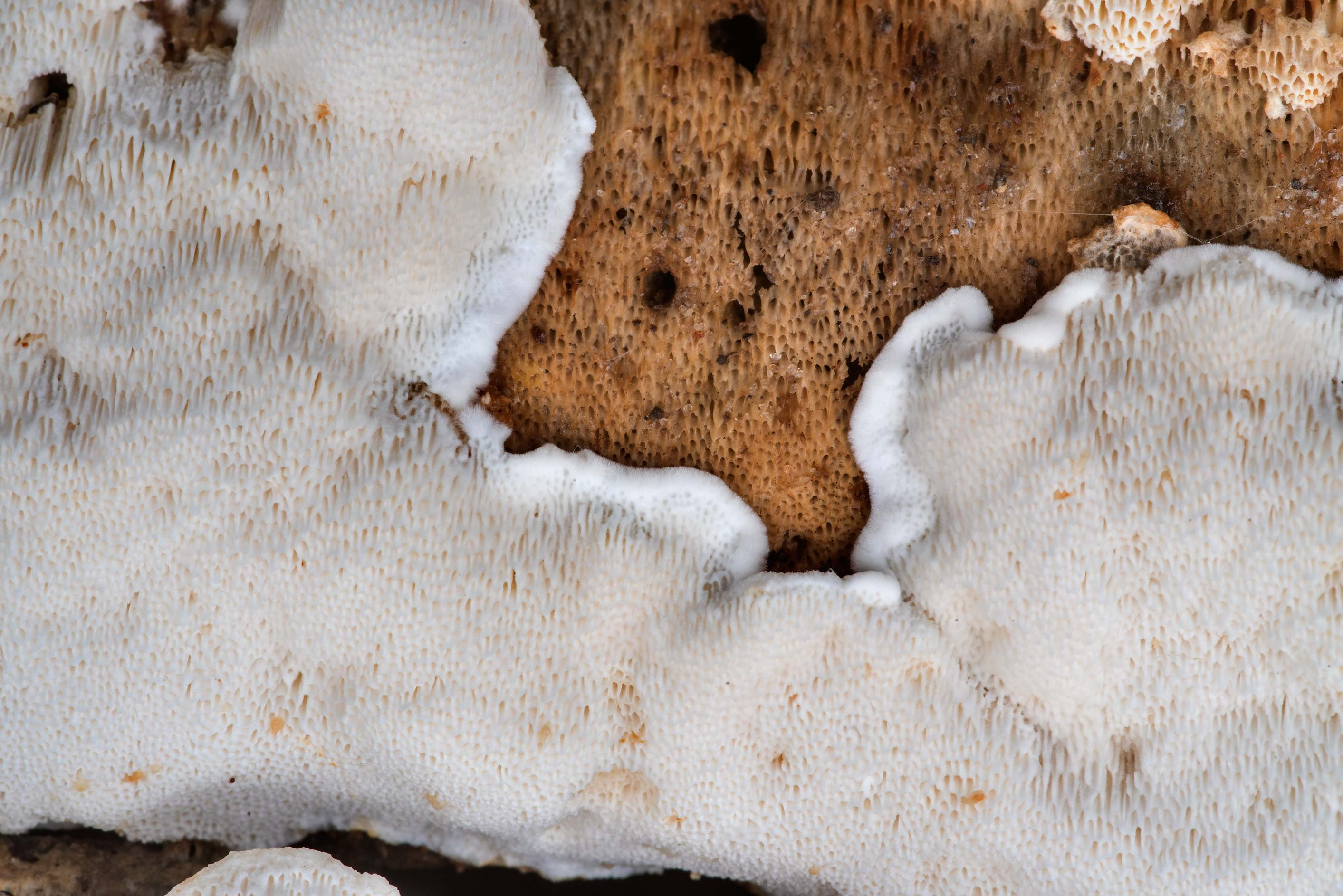 Close-up of white resupinate polypore mushroom on...Forest north from Montgomery. Texas