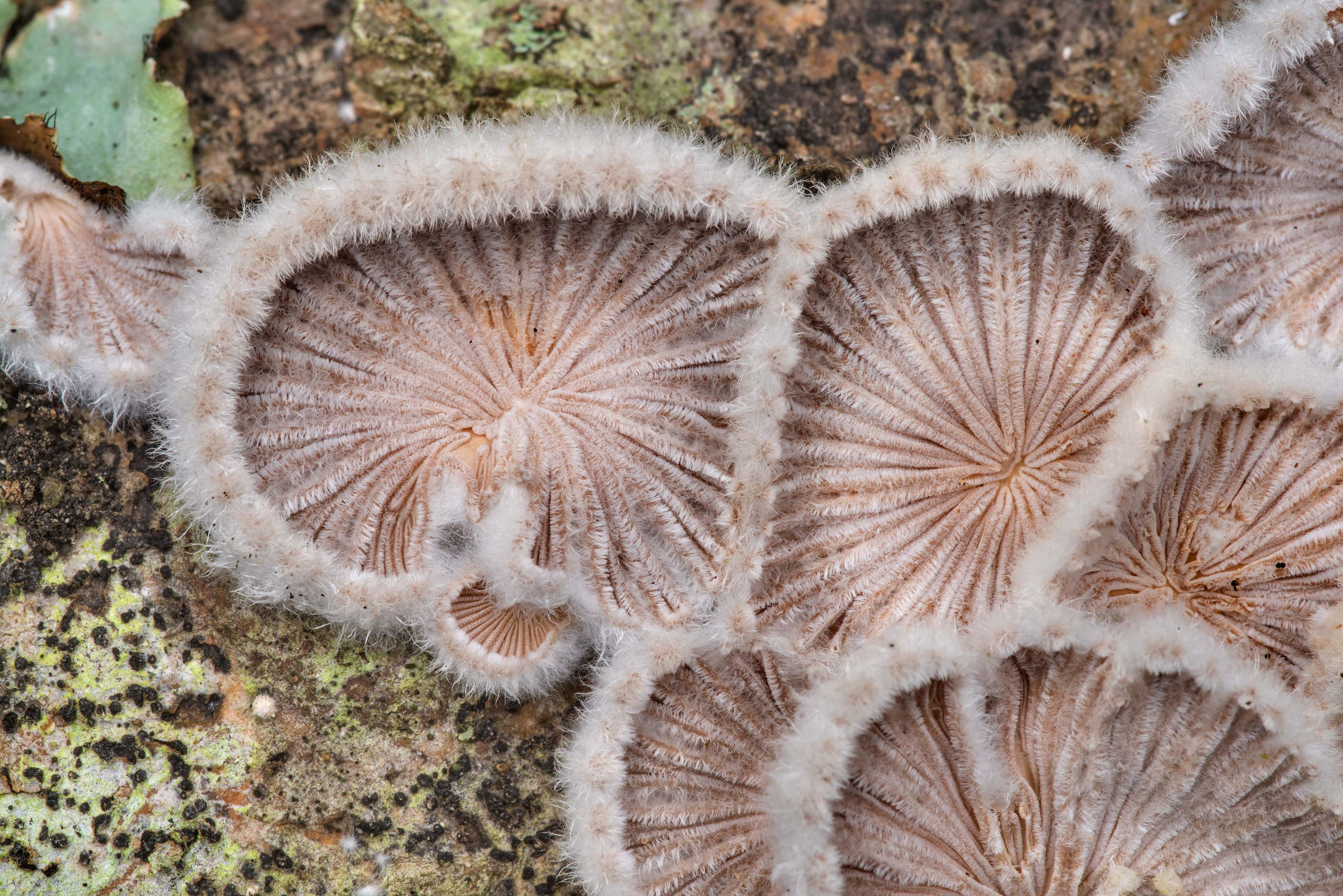 Close-up of splitgill mushrooms (Schizophyllum...Forest north from Montgomery. Texas