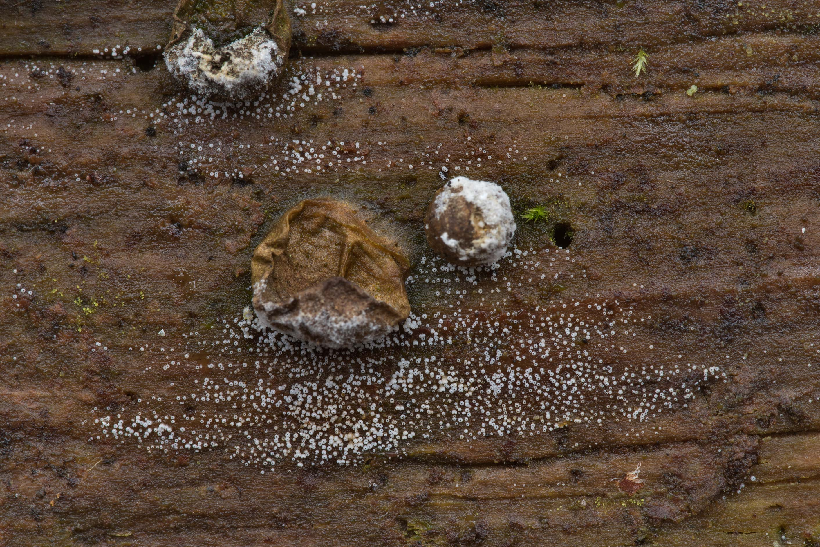 White cyphelloid fungus on a wet pine log, near...Forest north from Montgomery. Texas