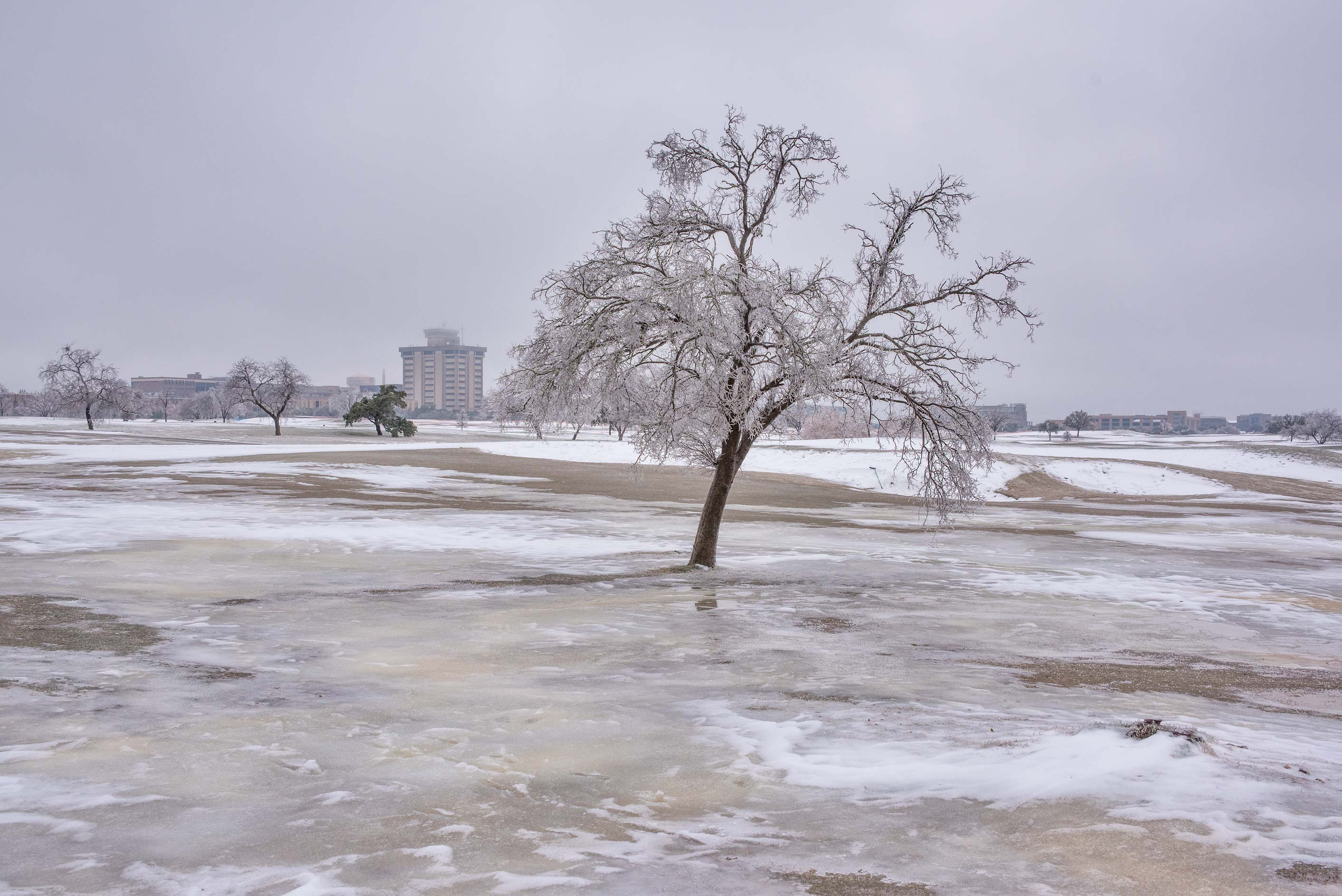 Icy tree on a golf course on campus of Texas A&M University. College Station, Texas
