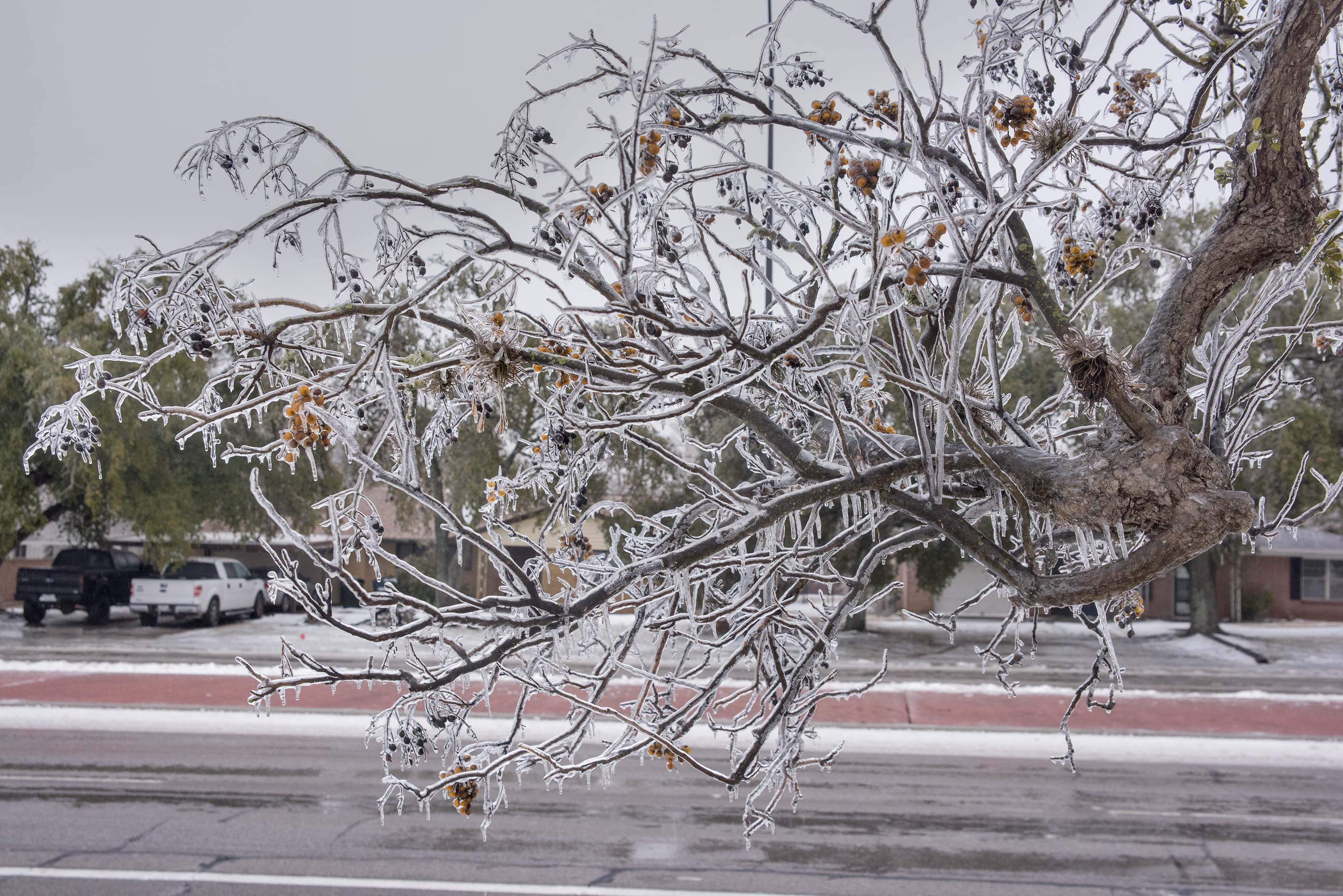 Icy soapberry on a golf course on campus of Texas...M University. College Station, Texas