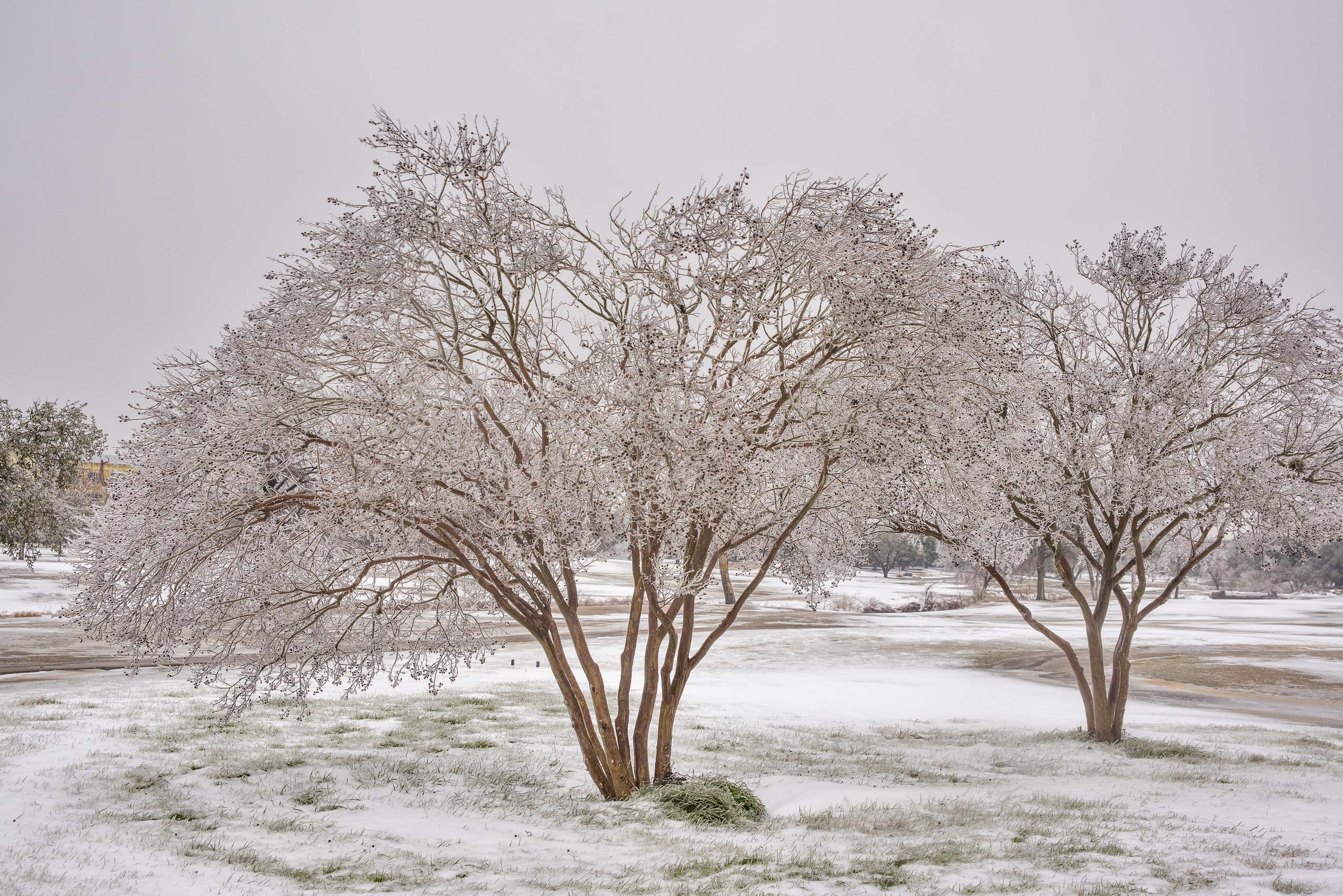 Crape myrtle trees covered by ice on a golf...M University. College Station, Texas