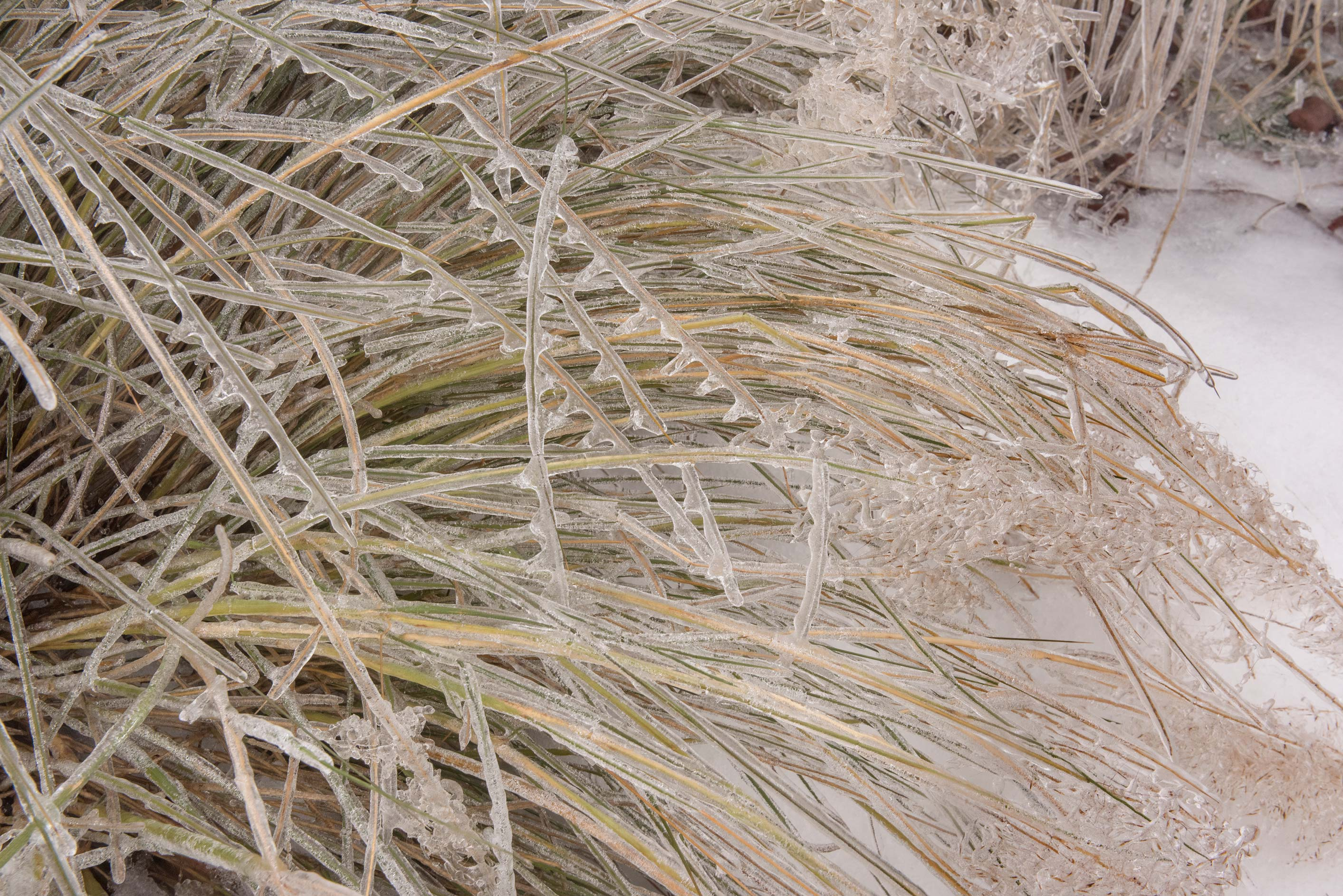 Pattern of ice on ornamental grass on a golf...M University. College Station, Texas