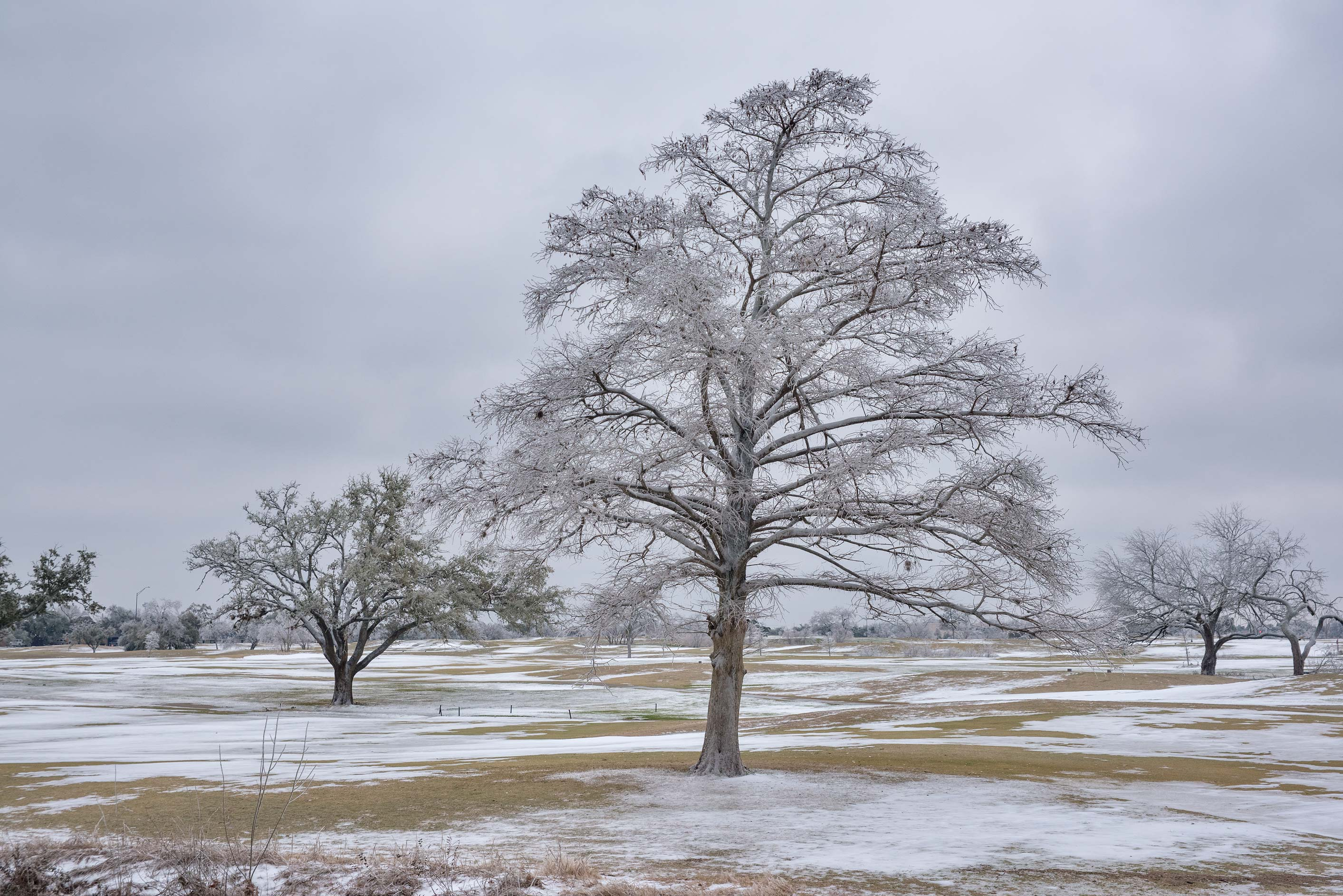 A tree with icing on a golf course on campus of...M University. College Station, Texas