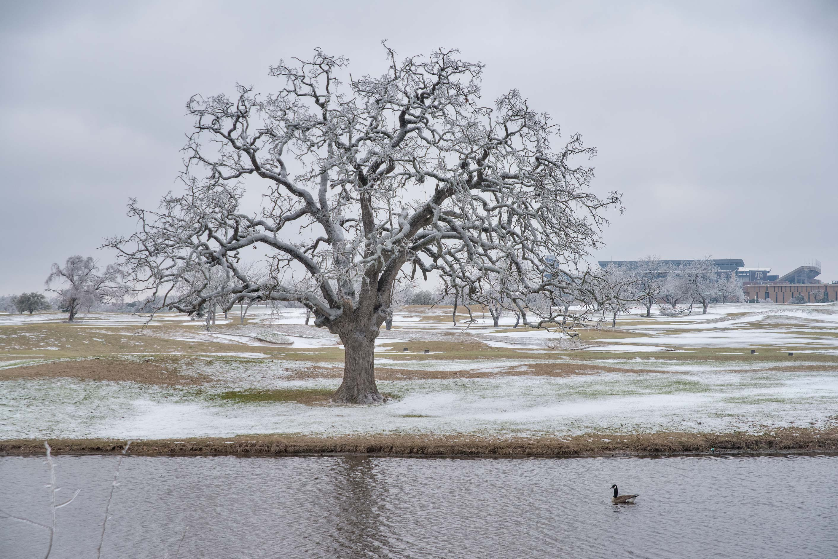 Oak tree near a pond on a golf course on campus...M University. College Station, Texas