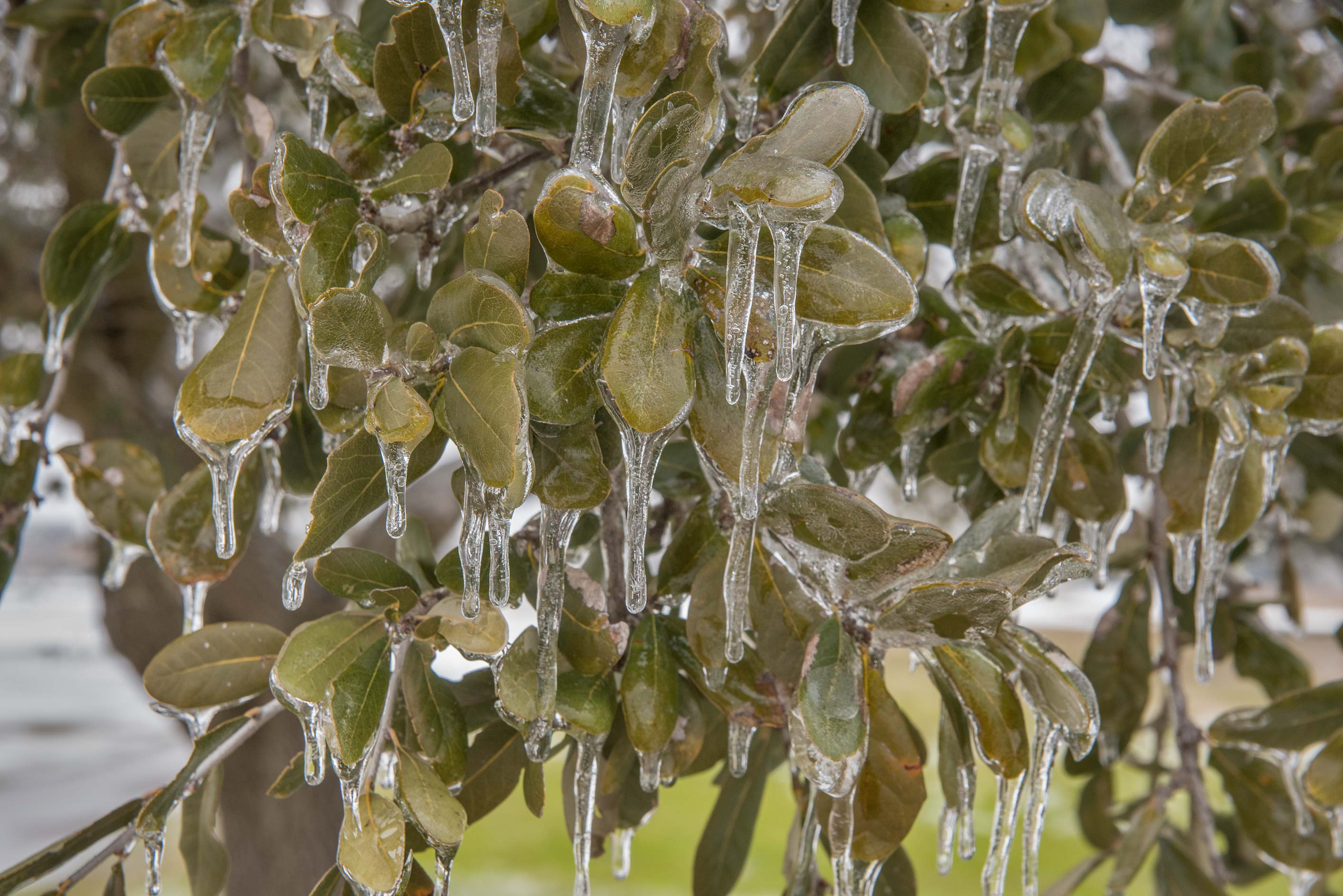 Icicles on oak leaves on a golf course on campus...M University. College Station, Texas