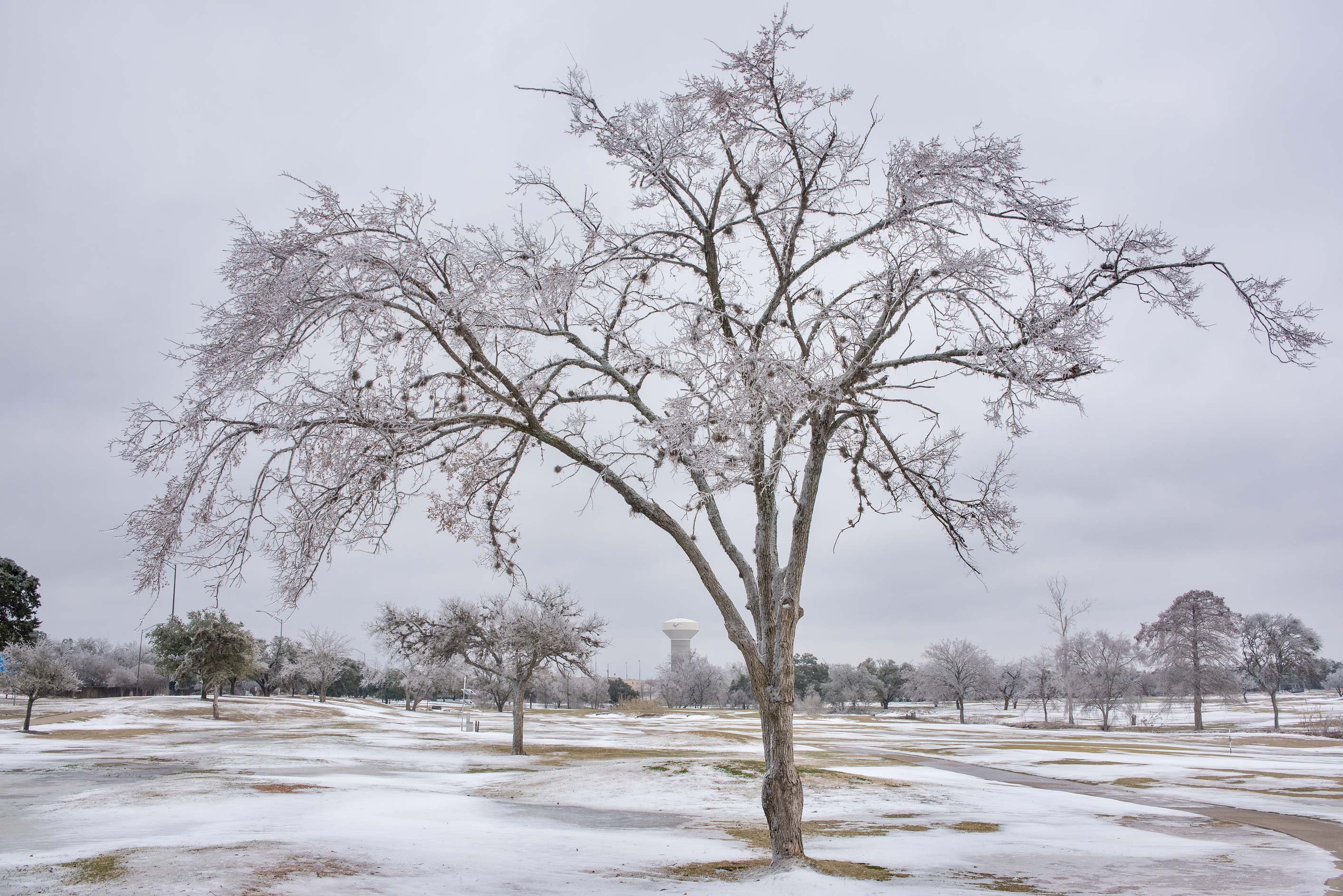 Tree in snow on a golf course on campus of Texas...M University. College Station, Texas