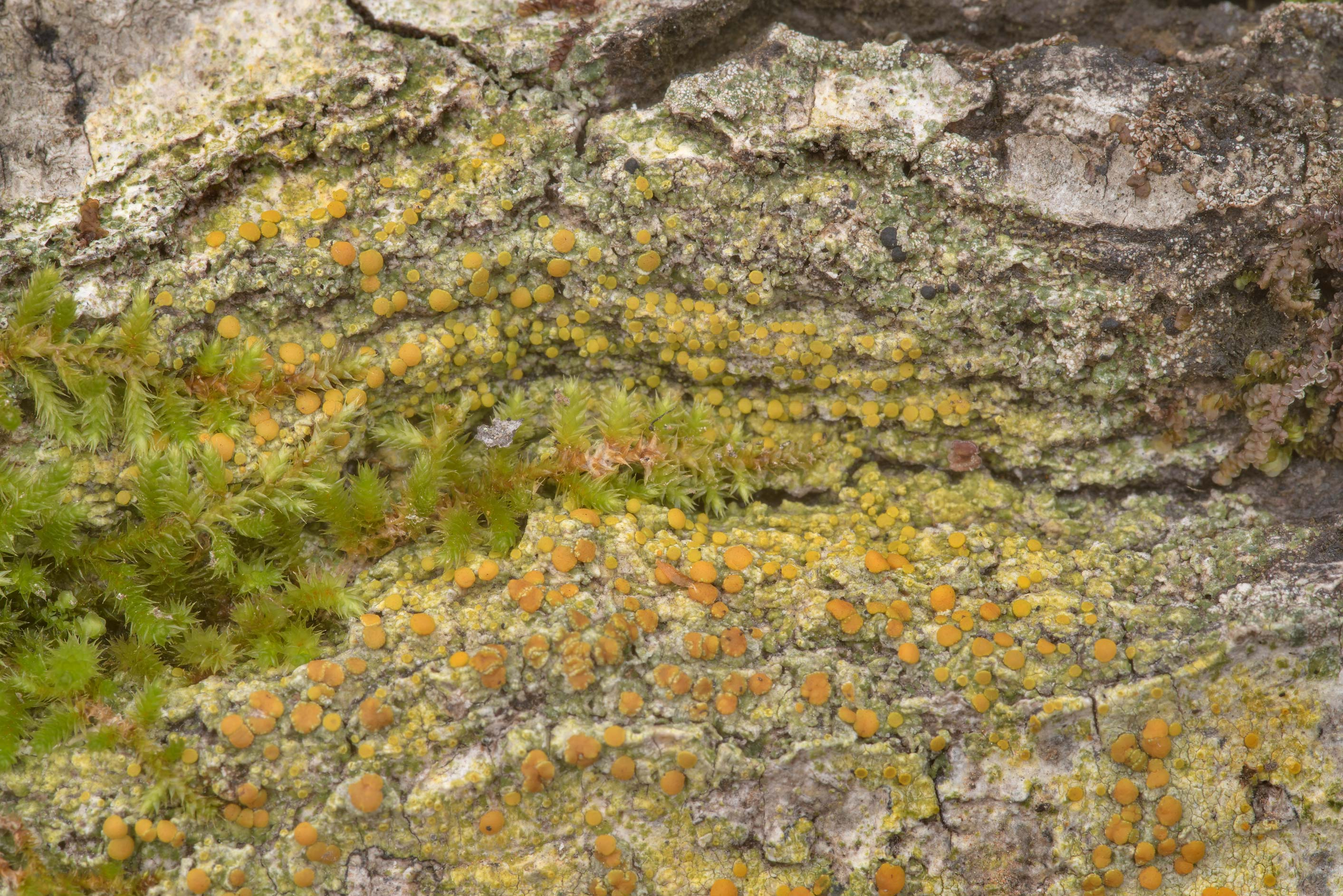Bark sulphur-firedot lichen (Gyalolechia...Forest north from Montgomery. Texas