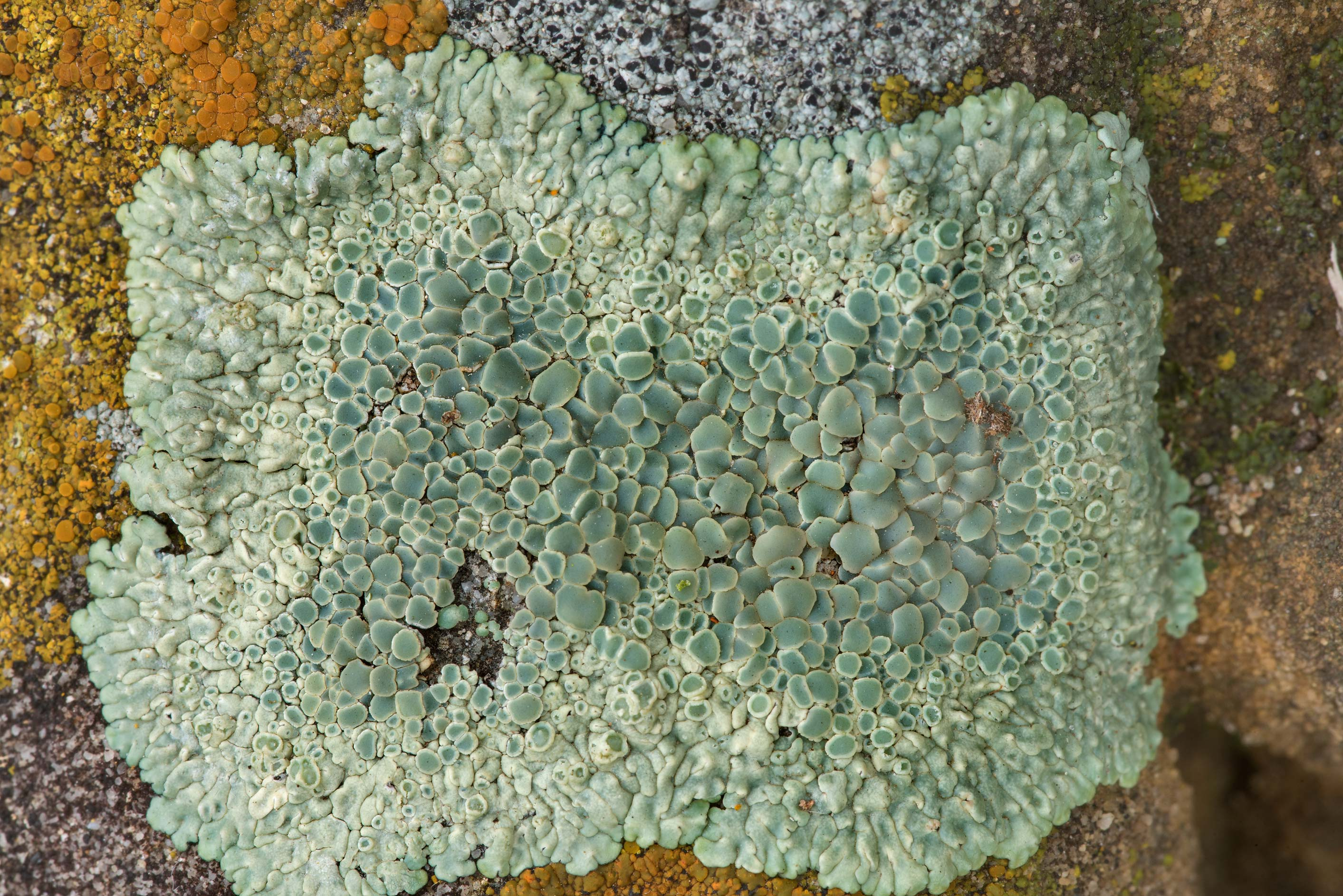 Close-up of stonewall rim-lichen (Lecanora...in Bastrop State Park. Bastrop, Texas