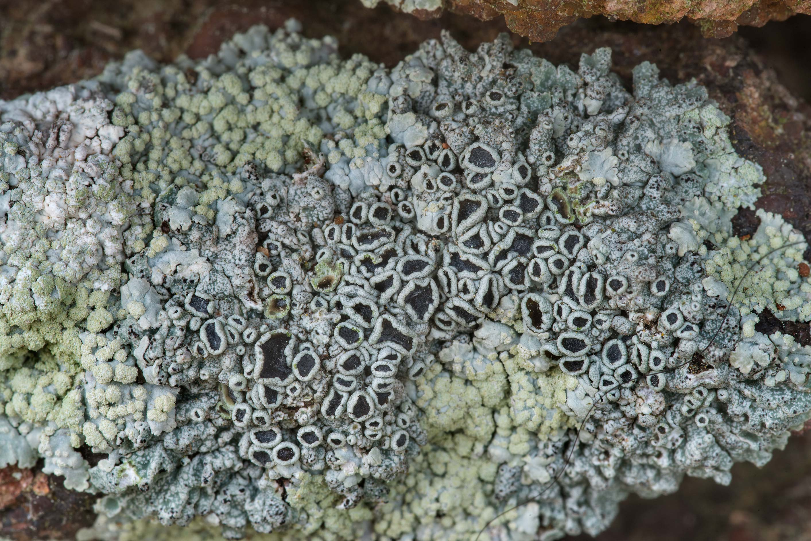 Black apothecia of rosette lichen (Physcia) on...in Bastrop State Park. Bastrop, Texas