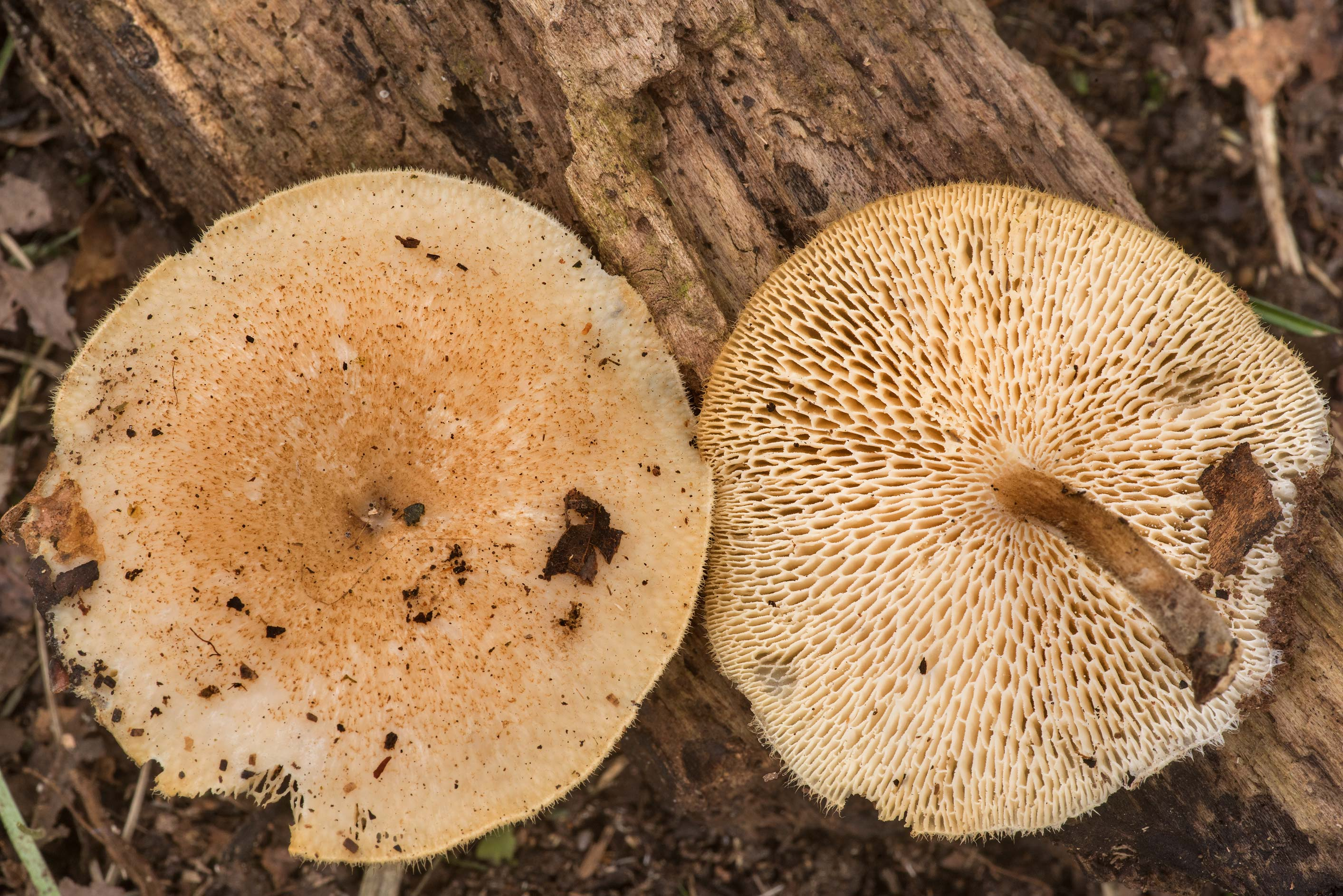 Spring polypore mushrooms (Lentinus arcularius) in Lick Creek Park. College Station, Texas