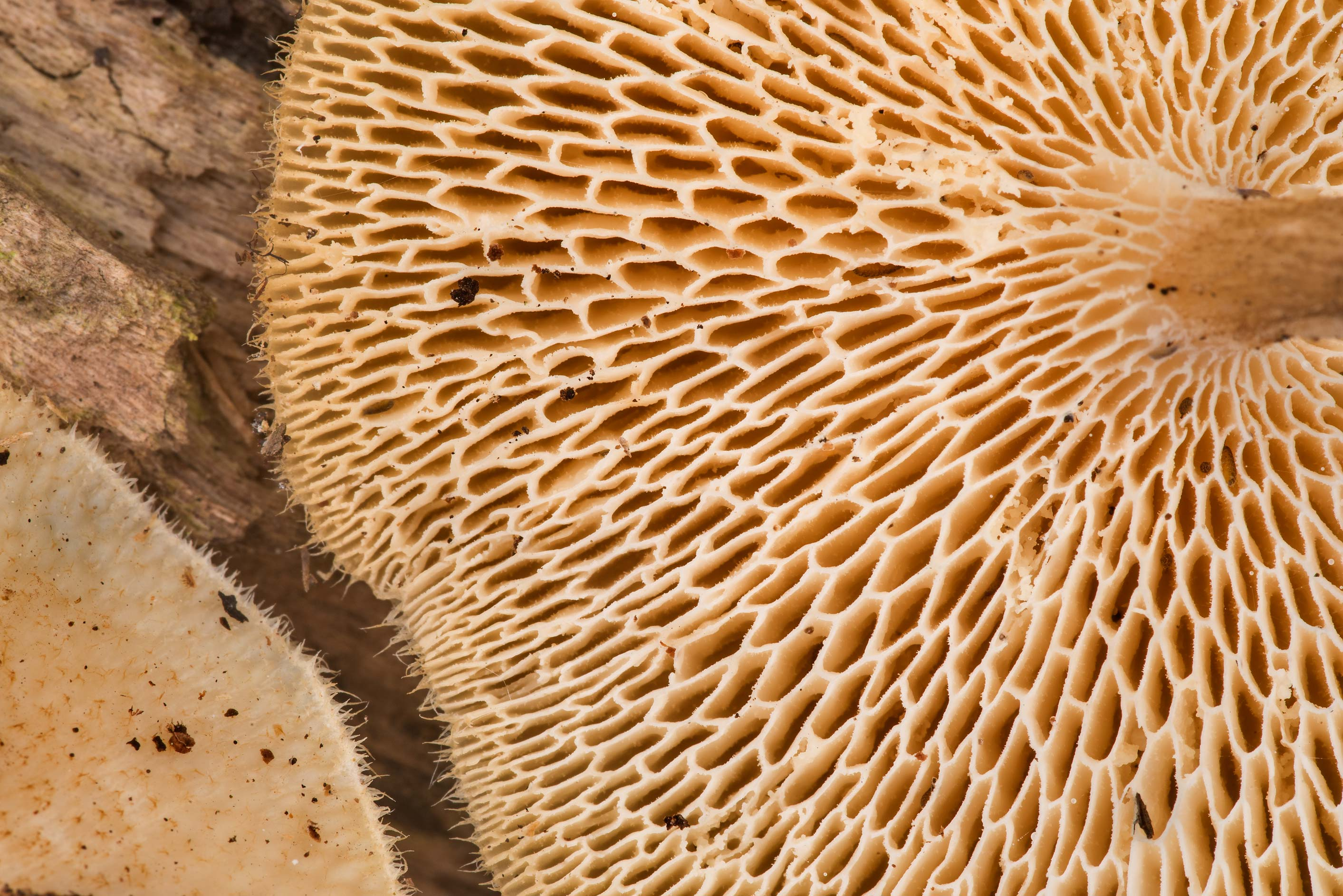 Underside of spring polypore mushrooms (Lentinus...Creek Park. College Station, Texas