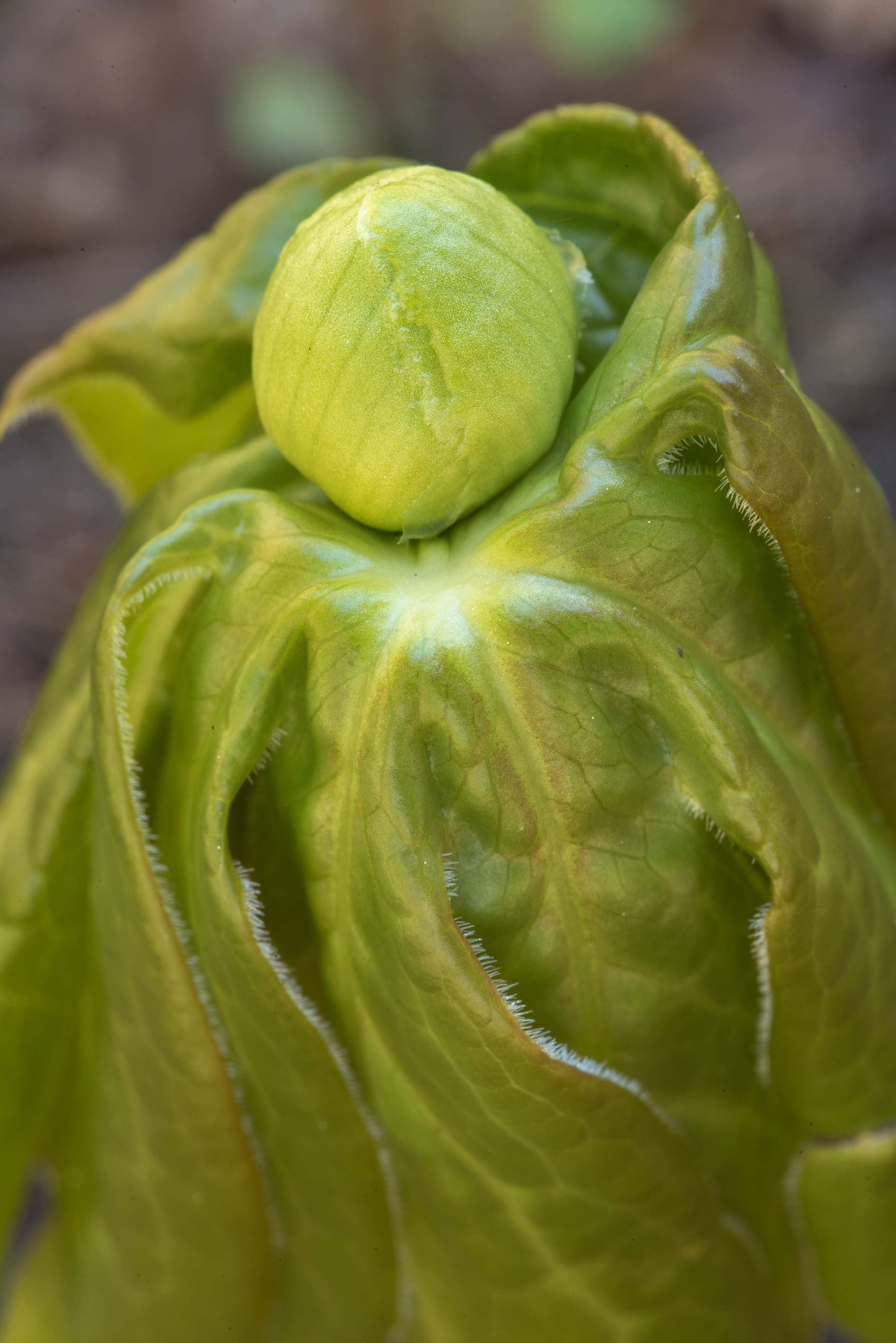 Flower bud of apple (Podophyllum peltatum) on...Forest north from Montgomery. Texas