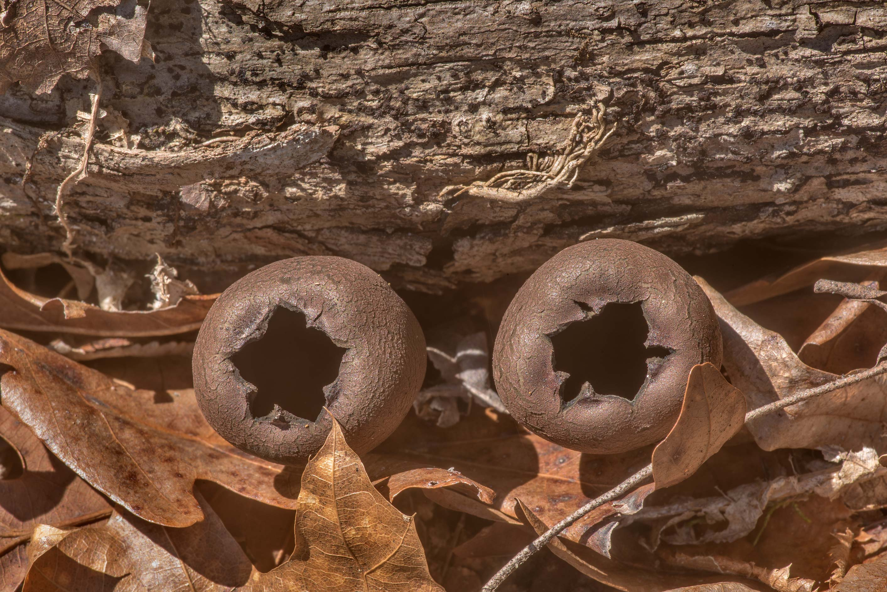 Devil's urn mushrooms (Urnula craterium) on a...Forest north from Montgomery. Texas