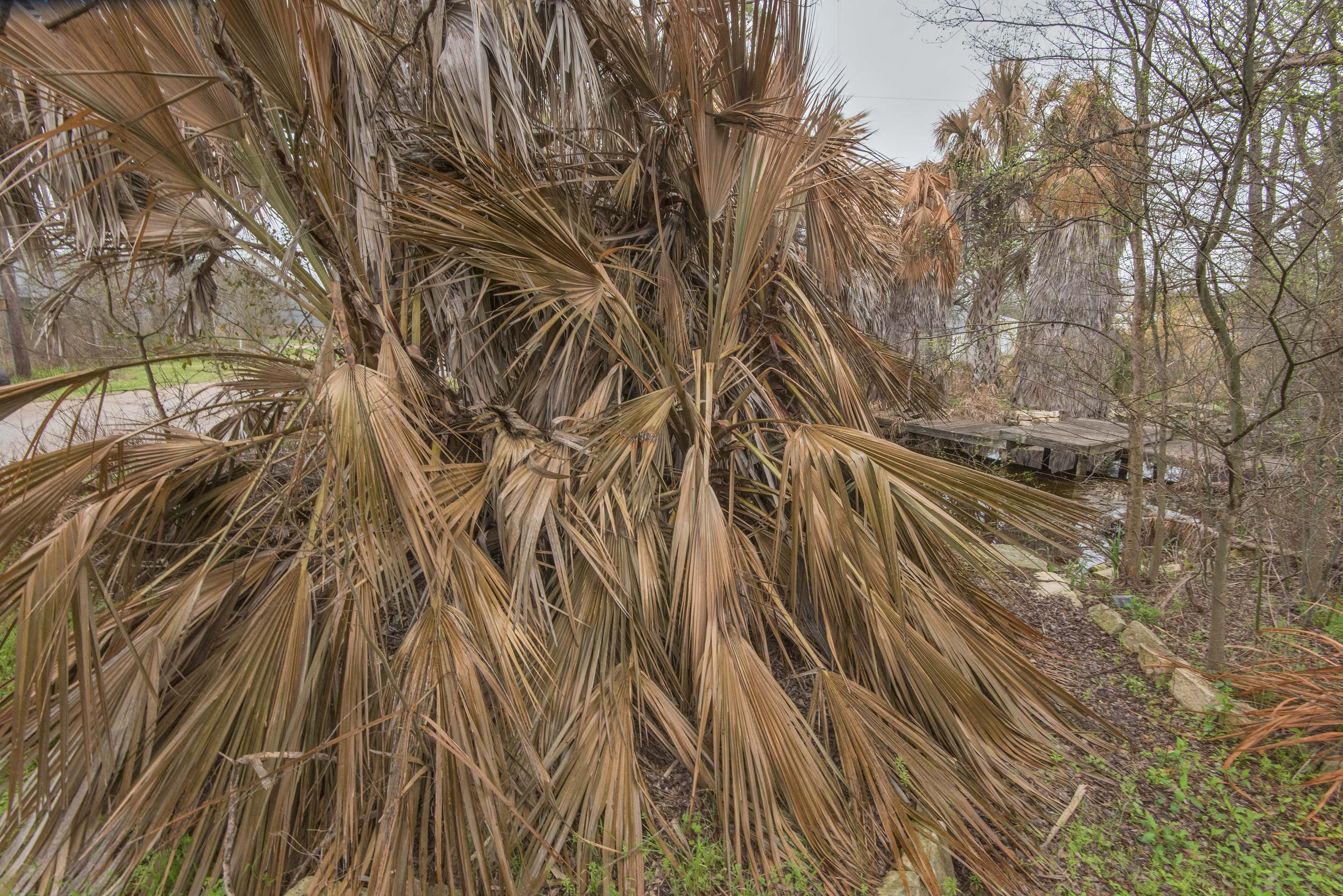Dry palm leaves in TAMU Horticultural Gardens in...M University. College Station, Texas