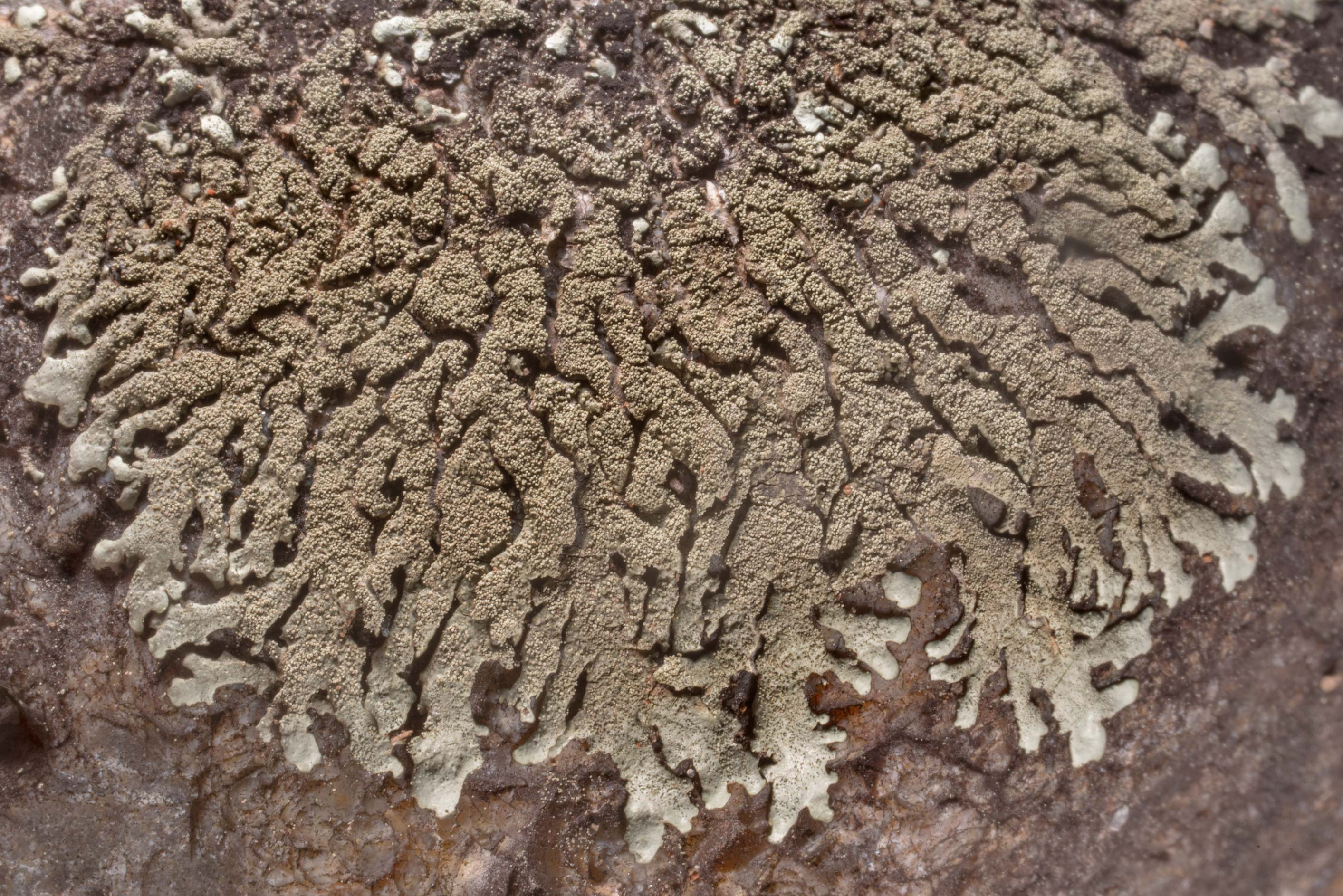 Salted rock-shield lichen (Xanthoparmelia...Roughs Nature Park near Austin. Texas