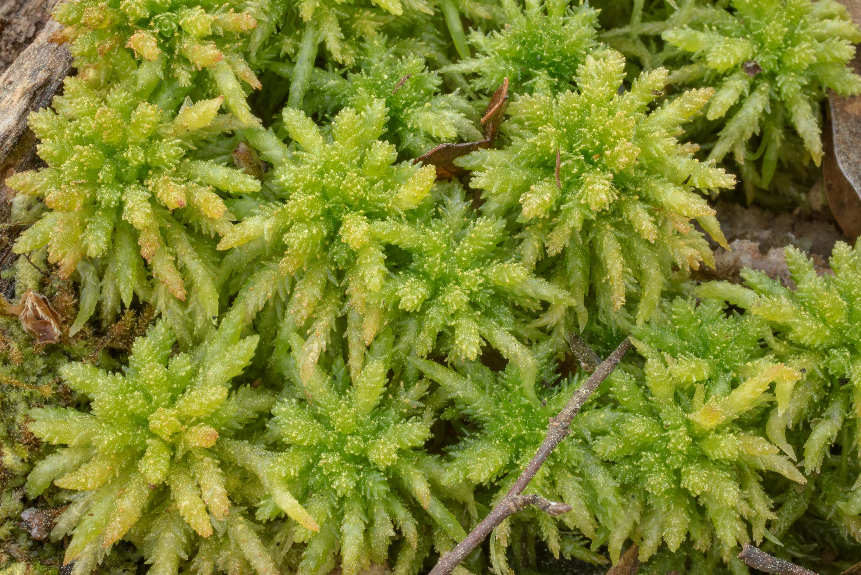 Texture of peat moss Sphagnum lescurii on...National Forest. Shepherd, Texas