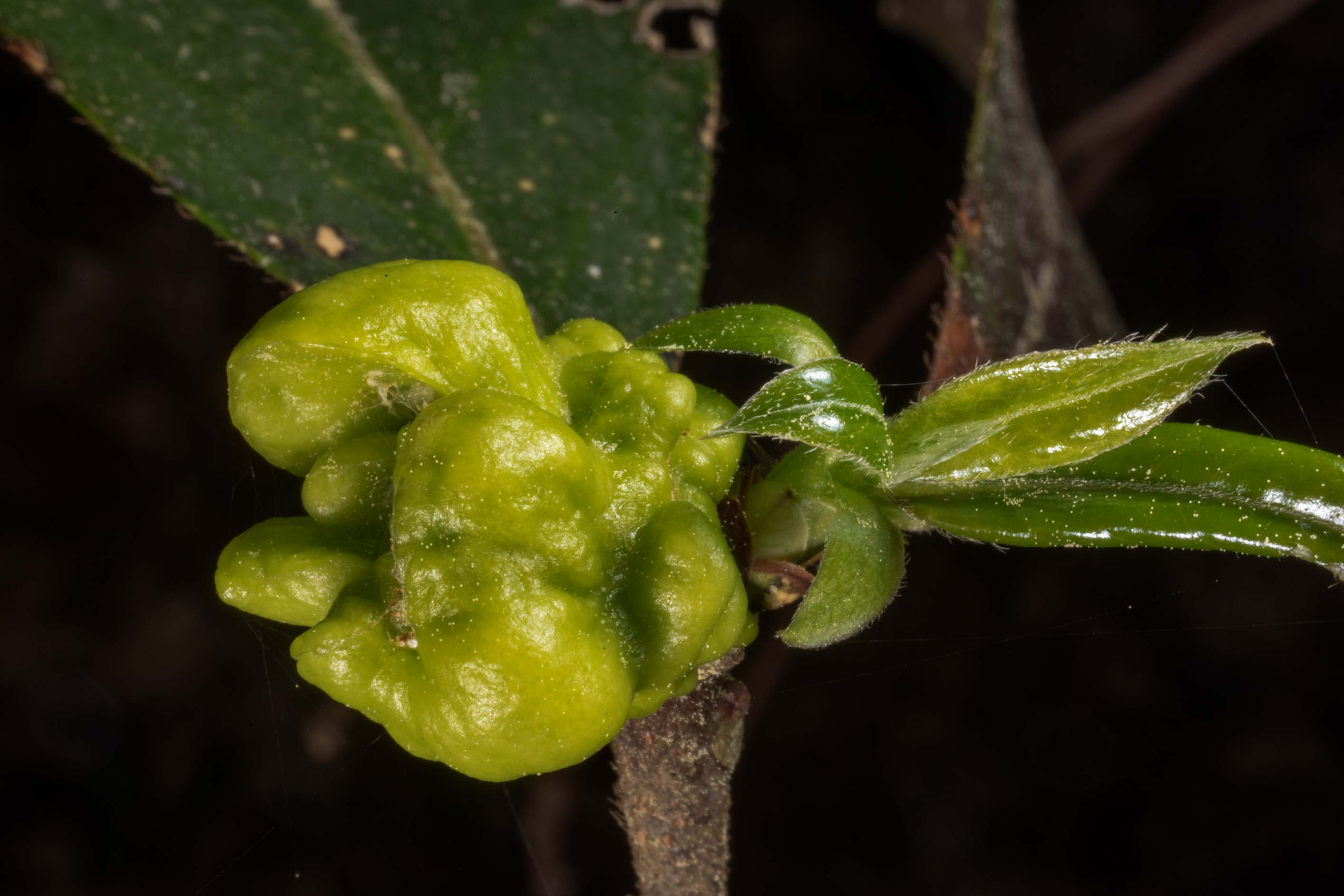 Gall caused by the fungus Exobasidium symploci...National Forest. Shepherd, Texas
